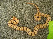Königsnatter Lampropeltis Mexicana Thayeri Variable