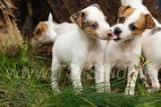 Jack Russell Terrier Welpen in