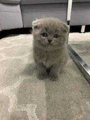 Scottish Fold Kitten sucht noch
