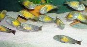 Tanganjika Tropheus sp moorii kasakalawe