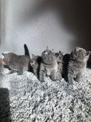 britisch Kurzhaar Babys suchen neues