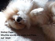 Deutsche Spitze im engl Pomeranian