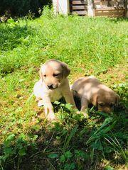 Labrador Welpe weiblich