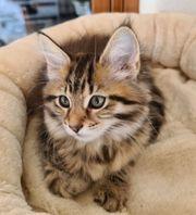 Maine Coon Kitten Kätzchen Mädchen