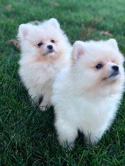 Schöne PomeranianWelpen