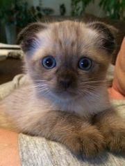 siam kitten reinrassig nur noch