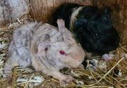 Meerschweinchen Babys Lunkarya