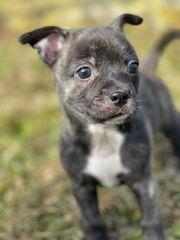 Mini Staff Chihuahua Welpen suchen