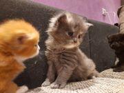 Maine Coone Kätzchen suchen Traumfamilie