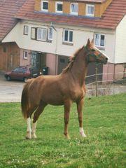 Bewegungsstarkes Nachwuchs Pferd