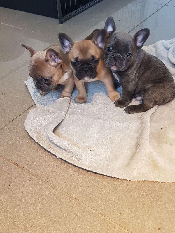 Franzosische Bulldogge Welpen Zu Verkaufen In Munchen Hunde Kaufen Und Verkaufen Uber Private Kleinanzeigen