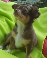 Chihuahua Welpe 11 Wochen