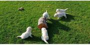 Golden Retriever Welpen tolle Familienhunde