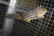 junge Amerikanische Streifenhörnchen Tamias striatus