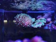 Sarcophyton Fiji Meerwasser Korallen