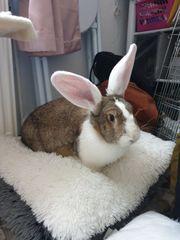 Kastrat Junges zahmes Kaninchen sucht