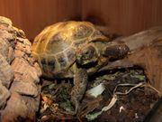 Junge Vierzehen Landschildkröten zu verkaufen