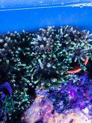 Meerwasser kleine grüne Anemone