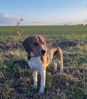Tricolor Deckrüde Beagle Kein Verkauf