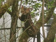 Bengal-Mix-Kitten 2 Mädels noch frei