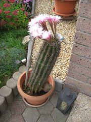 Großer Kaktus Kaktussäule