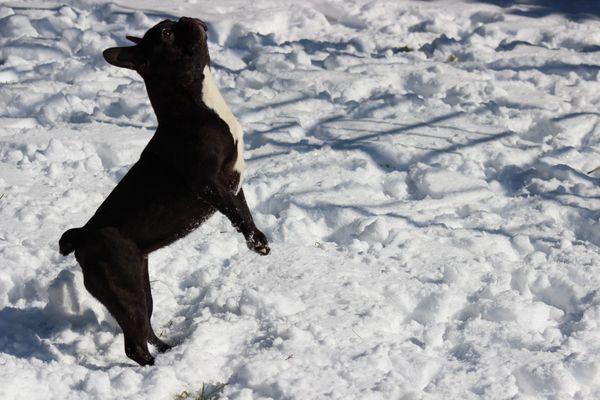 2 jährige Französische Bulldogge Hündin