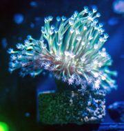 Meerwasser Pilzlederkoralle - Sarcophyton