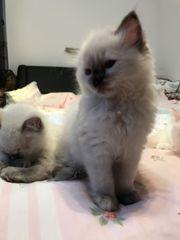 Süße Ragdoll-Kätzchen
