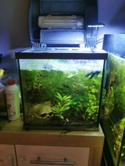 Aquarium mit Betta Splendens Crown