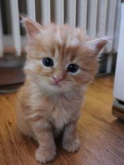 Kuschelige Baby Katzen Türkisch Angora
