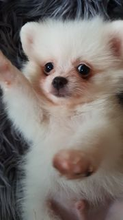 Pomeranian baby