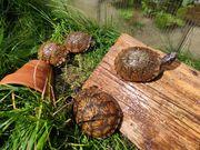 4 Terrapene carolina triunguis - Dreizehen-Dosenschildkröten