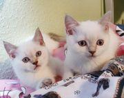 BKH Kitten Madchen und Junge