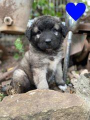 Germanischer Bärenhund aus 100 reinrassiger