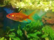 3 schöne Goldfische zu Verkaufen