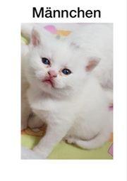 BKH Kitten suchen ein schönes