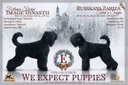 Russische Schwarze Terrier Welpen
