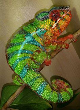Reptilien, Terraristik - Chamäleon Pantherchamäleon - Furcifer pardalis