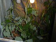 4 Wandelnde Bohnen Diapherodes gigantea
