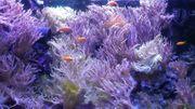 Leder-Korallen Seewasser-Aquarium Meerwasser-Aquarium Salzwasser Aquariumpflanzen