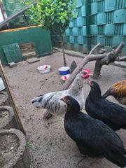 2 junge männliche Hühner zuverkaufen