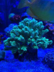 Hydnophora - Pickelkoralle wie auf dem