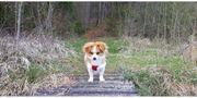 Pekinese Palasthund Königshund Spitz Mischling