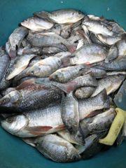 Tilapia-Fisch in guter Qualität zu