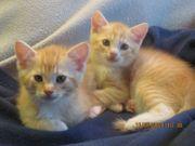 Katzen-BKH - Kitten männlich verschmust 12