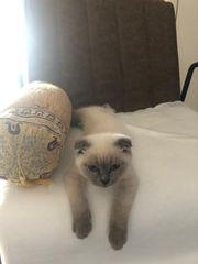 Kitten Bkh Blue Point