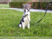3 Reinrassige Siberian Husky Welpen