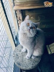 BKH kitten suchen noch eine