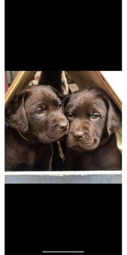 Labrador Welpen Choco braun abgabebereit