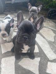 Französische Bulldogge Welpen reinrassig